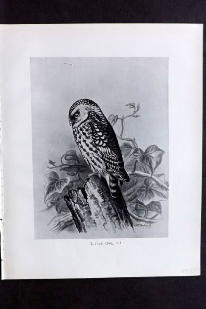 F. Frohawk 1898 Antique Bird Print. Little Owl